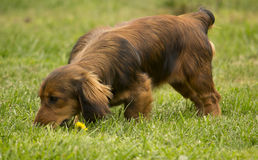Dog tracking/sniffing. Young daschund dog tracking in the grass Stock Photos