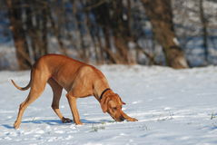 Dog tracking in snow. Young dog sniffing in the snow Stock Photo