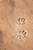 Dog tracks. In the sand Royalty Free Stock Photos
