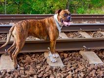The dog on the tracks Stock Photos
