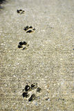Dog tracks in Concrete Stock Photos