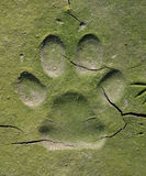 Dog  tracks in cracked mud Stock Photography