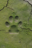Dog  tracks in cracked mud Royalty Free Stock Image