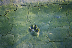 Dog  tracks in cracked mud Royalty Free Stock Photo