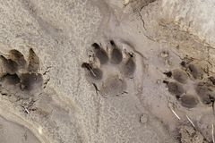 Dog tracks in the mud. Detail of a mark on the ground Royalty Free Stock Images