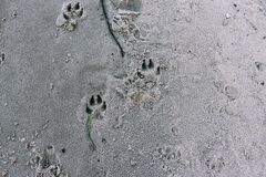 Free Dog Tracks On The Beach. Animal Tracks On A Sandy Beach Stock Image - 189789101