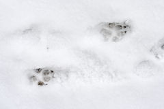 Dog tracks on snow Royalty Free Stock Photo