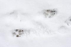 Dog tracks on snow Royalty Free Stock Photo