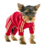 Dog in a tracksuit Royalty Free Stock Images