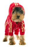 Dog in a tracksuit Royalty Free Stock Photography