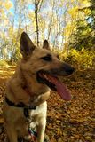 Dog on path in fall Stock Images