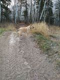 Dog on trail in the forest. Mixed breed dog on the trail in the forest off leash Stock Photo