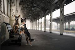 Dog at the train station. Traveling with the pet. Dog at the train station. Traveling with the pet, adventure Stock Photos