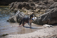 Dog trained for rescue while training at sea. Black and white dog trained for rescue while training at sea shore with rocks on the background in a sunny day royalty free stock photo