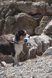 Dog trained for rescue while training at sea shore. Black and white dog trained for rescue while training at sea shore with rocks on the background in a sunny royalty free stock photography