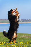 Dog trained to perform tricks. Beautiful bernese mountain dog do perform tricks stock images