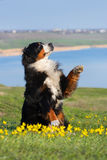 Dog trained to perform tricks. Beautiful bernese mountain dog do perform tricks royalty free stock images