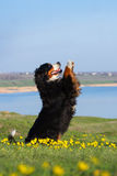 Dog trained to perform tricks. Beautiful bernese mountain dog do perform tricks royalty free stock photography