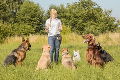 Dog trainer teaching dogs. A group of dogs listen to the commands of the dog trainer royalty free stock images