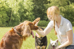 Dog trainer teaching dogs. Dog trainer trains irish setter to give high five royalty free stock photo