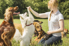 Dog trainer teaching dogs Stock Images