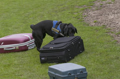Dog training. To search luggage for drugs and bombs Royalty Free Stock Photo