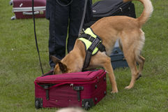 Dog training. To search luggage for drugs and bombs Royalty Free Stock Photos