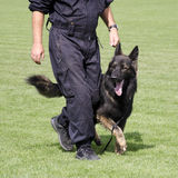 Dog training. Police dog, German Shepard, walking by the leg of a male policeman during a training or a service Stock Photo