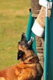 Dog training royalty free stock images