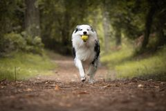 Dog training in forest, australian shepherd running, carrying tennis ball in his mouth. Close up royalty free stock photography