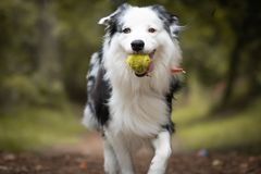 Dog training in forest, australian shepherd running, carrying tennis ball in his mouth. Close up royalty free stock photos