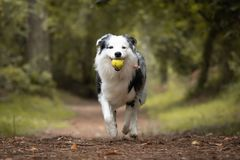 Dog training in forest, australian shepherd running, carrying tennis ball in his mouth. Close up stock photo