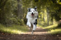 Dog training in forest, australian shepherd running, looking at camera. In action stock photo