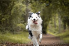 Dog training in forest, australian shepherd running, looking at camera. In action royalty free stock image