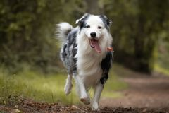 Dog training in forest, australian shepherd running, looking at camera. In action stock photography