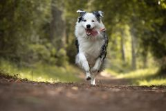Dog training in forest, australian shepherd running, looking at camera. In action stock image