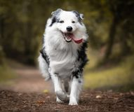 Dog training in forest, australian shepherd running, looking at camera. In action royalty free stock photo