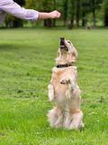 Dog in training Royalty Free Stock Photography