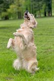 Dog in training Royalty Free Stock Photos