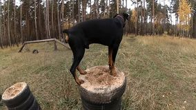 Dog training on the training ground in the forest, Doberman jumping from pedestal on pedestal
