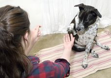 Dog Training. Dog has eye on treat as he raises his paw to shake hands during a training session Stock Photos