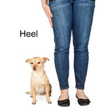 Dog Training Heel Command. A person giving a hand signal to a little Chihuahua mixed breed dog for the command of heel Royalty Free Stock Images