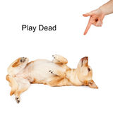Dog Training Play Dead Command Stock Photos