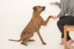 Dog during training. Rhodesian ridgeback puppy giving its paw to its owner during an obedience class. Studio shot on grey background in horizontal format royalty free stock images
