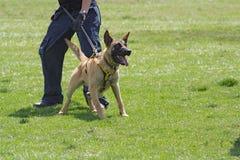 Dog training school. Belgian Malinois in the attack Stock Photo