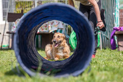 Dog training, school for dogs Stock Photography