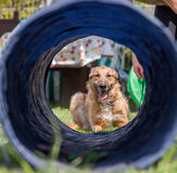 Dog training, school for dogs Royalty Free Stock Image