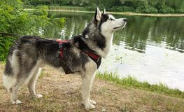 Dog training, Siberian husky on the background of  river executes commands royalty free stock photography