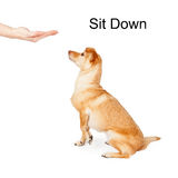 Dog Training Sit Down Command Royalty Free Stock Image