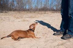 Dog training. A small funny dog performs a command stock photo